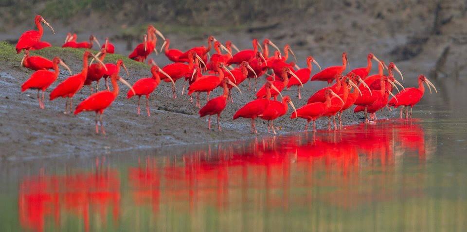 заповедник Caroni Bird Sanctuary